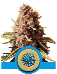 Royal Queen Seeds- Euphoria CBD
