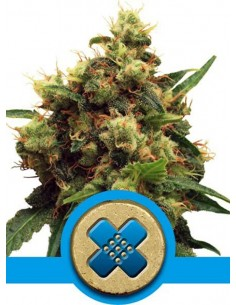 Royal Queen Seeds- Painkiller XL CBD