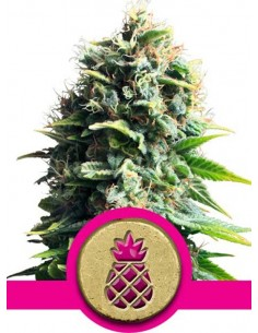 Royal Queen Seeds- Pineapple Kush