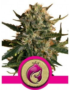 Royal Queen Seeds- Mother Gorilla