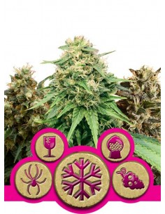 Royal Queen Seeds - Feminized Mix