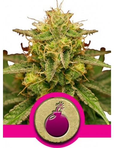 Royal Queen Seeds - Royal Domina