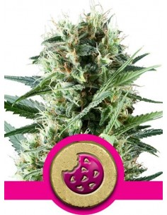Royal Queen Seeds - Royal Cookie