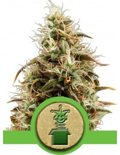 Royal Queen Seeds - Auto Royal Jack