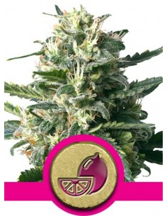 Royal Queen Seeds - Lemon Haze