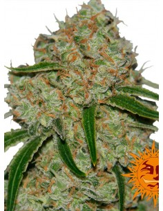 Barney´s Farm - Phantom OG