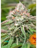 Barney´s Farm - Peyote Critical