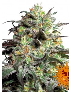 Barney´s Farm - Peyote Cookies
