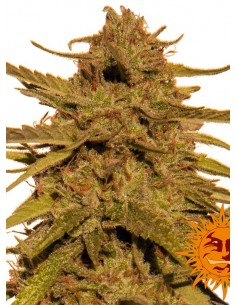 Barney´s Farm - Pineapple Haze 10 semillas Regulares