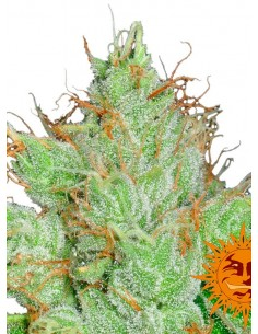 Barney´s Farm - G-13 Haze 10 Semillas Regulares