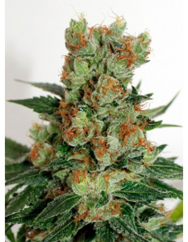 Ripper Seeds Fuel OG - Semillas Regulares
