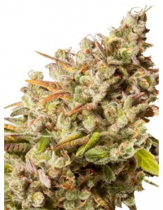 Royal Queen Seeds Royal Gorilla - Semilla