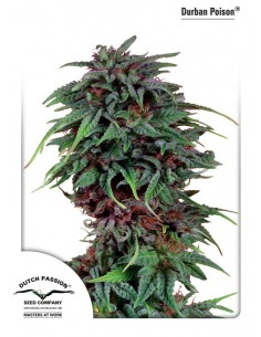 Dutch Passion - Durban Poison 10 Semillas Regulares