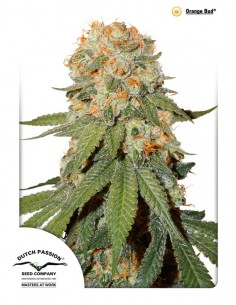 Dutch Passion - Orange Bud 10 Semillas Regulares