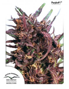Dutch Passion - Purple 1
