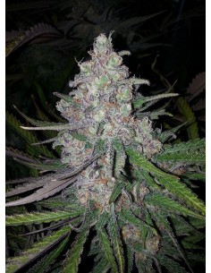 Paisa Grow Seeds- Fast Mass Haze