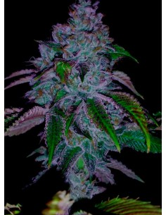 Paisa Grow Seeds- Gold Honey