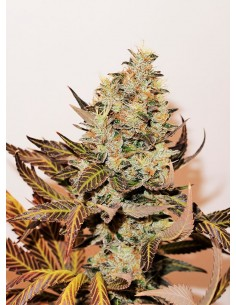 Paisa Grow Seeds- Paisa CBD