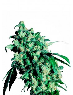 Sensi Seeds - Super Skunk 1- Regular