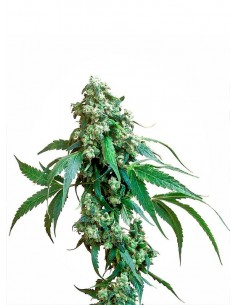 Sensi Seeds - Jack Flash - Regular