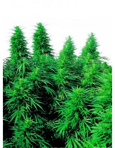 Sensi Seeds Ruderalis Skunk Regular