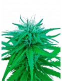 Sensi Seeds - Ruderalis Indica - Regular