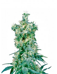 Sensi Seeds - American Dream - Regular