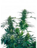 Sensi Seeds - Guerrilla.s Gusto - Regular