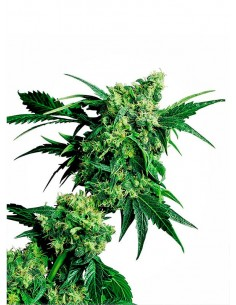 Sensi Seeds - Mr Nice G13 X Hash Plant 10 - Regular