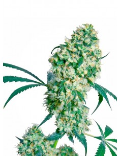 Sensi Seeds Ed Rosenthal Super Bud Regular