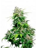 Sensi Seeds - California Indica-