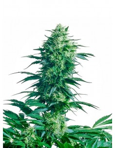 Sensi Seeds - Mother.s Finest - Regular