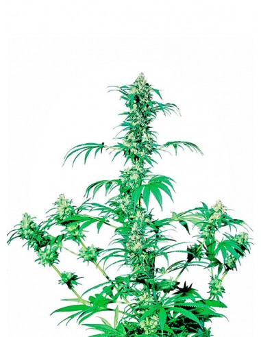 Sensi Seeds - Early Girl - Regular