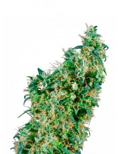 Sensi Seeds -First Lady - Regular