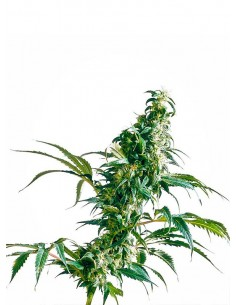 Sensi Seeds - Mexican sativa - Regular