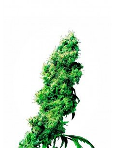 Sensi Seeds - Four Way - Regular