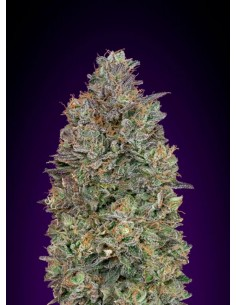 Advanced Seeds- Critical Purple Kush