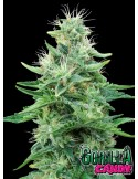 Eva Seeds- Gorilla Candy