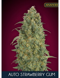 Advanced Seeds- Auto Strawberry Gum