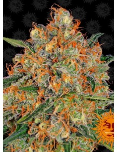Barney´s Farm - Orange Sherbert