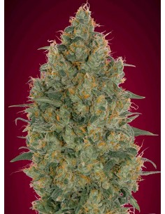 Advanced Seeds- Strawberry Gum