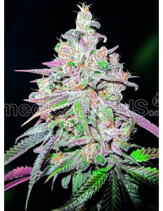 Medical Seeds- Mendocino Chanel Kush