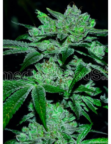 Medical Seeds- Sour Glue