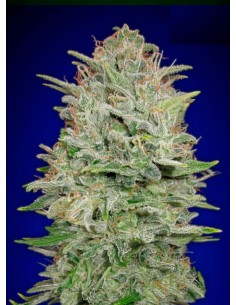 Advanced Seeds- Auto Critical Mass