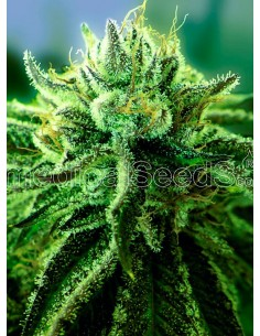 Medical Seeds - Canadian Kush