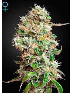 Green House- King´s Kush CBD