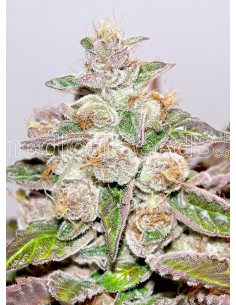 Medical Seeds- Mendocino Purple Kush