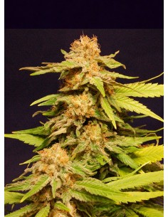 Kannabia Seeds- Big Bull