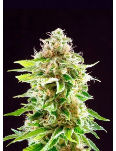Kannabia Seeds- Cookies Haze