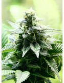 Kannabia Seeds- Indica Cream